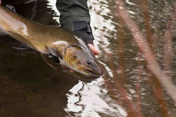 Metolious Bull Trout